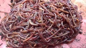 kalifornijske gliste